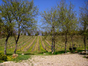 Apartment in Florence: The Vineyard of Podere Vignola Farm Holiday